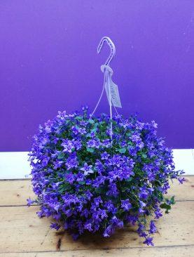 Campanula hanging basket